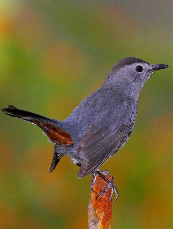 Gray Catbird (Dumetella carolinensis) Photo by Gerhard Hofmann