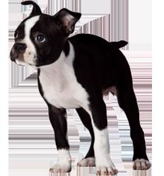 Boston Terrier Breeders Florida Boston Terrier Puppies For Sale In