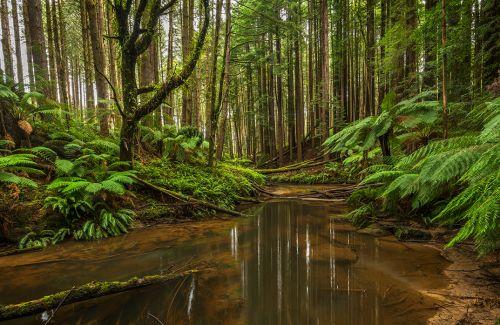 California Redwoods in Otways