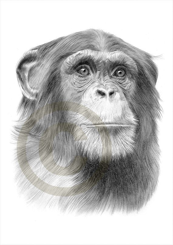 Schimpanse Kunst Schimpanse Bleistiftzeichnung Druck Kunstwerk