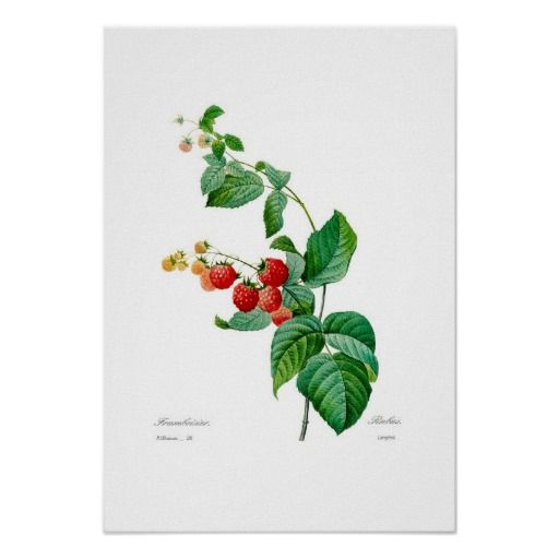 Raspberry by Pierre-Joseph Redouté(1759-1840). from Choix des plus belles fleurs.This image (or other media file) is in the public domain because its copyright has expired.