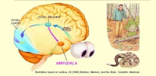 The amygdala is such an intriguing part of the brain; how ...