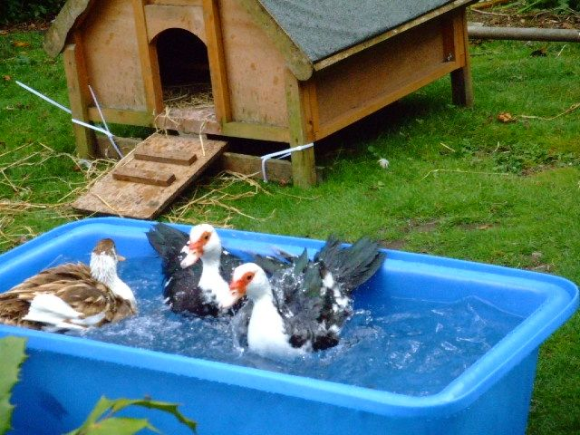 Water trough pond google search chicken coops duck for Plastic duck house