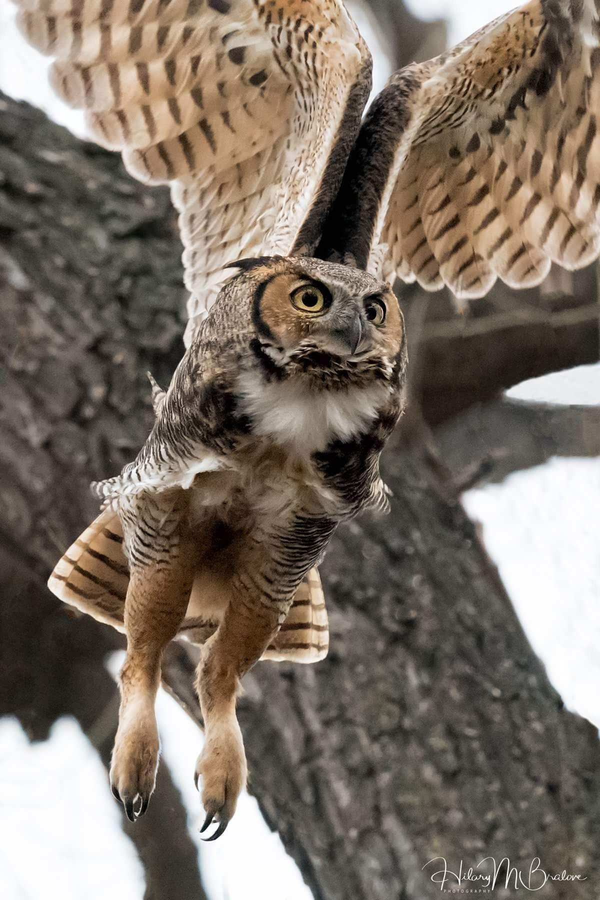 Ноги совы картинки