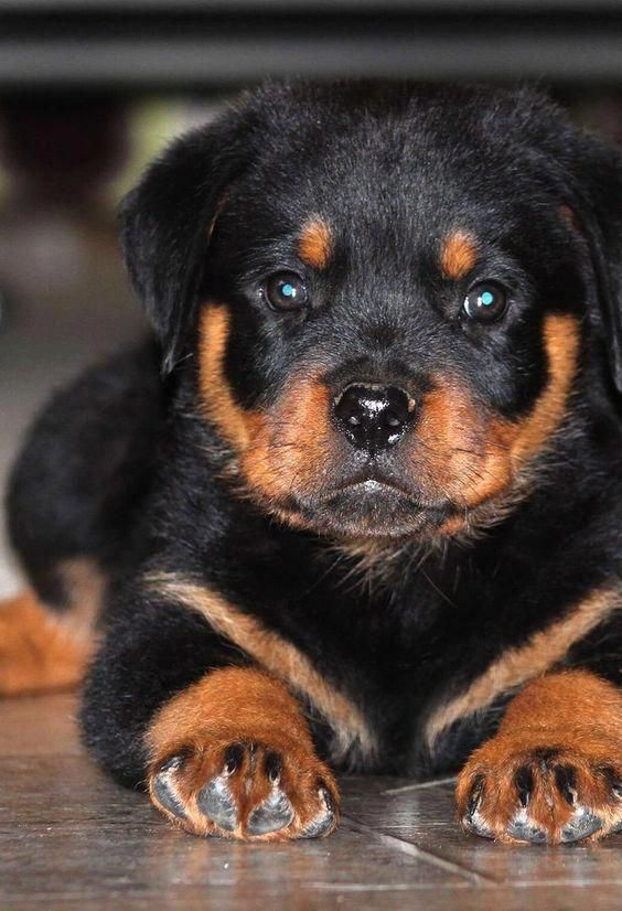 Pin By Katelyn Othersen On Dogs I Want In 2020 Rottweiler