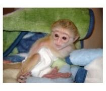 Pin by Free Classified on adzscouk Monkeys for sale