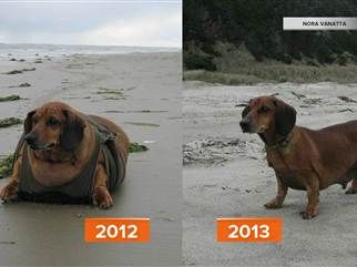 Beloved Obie The Dachshund Sheds 50 Pounds Dachshund Overweight