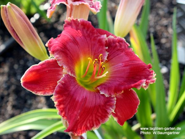 "Hemerocallis /""Flying Trapeze/"" Taglilie"