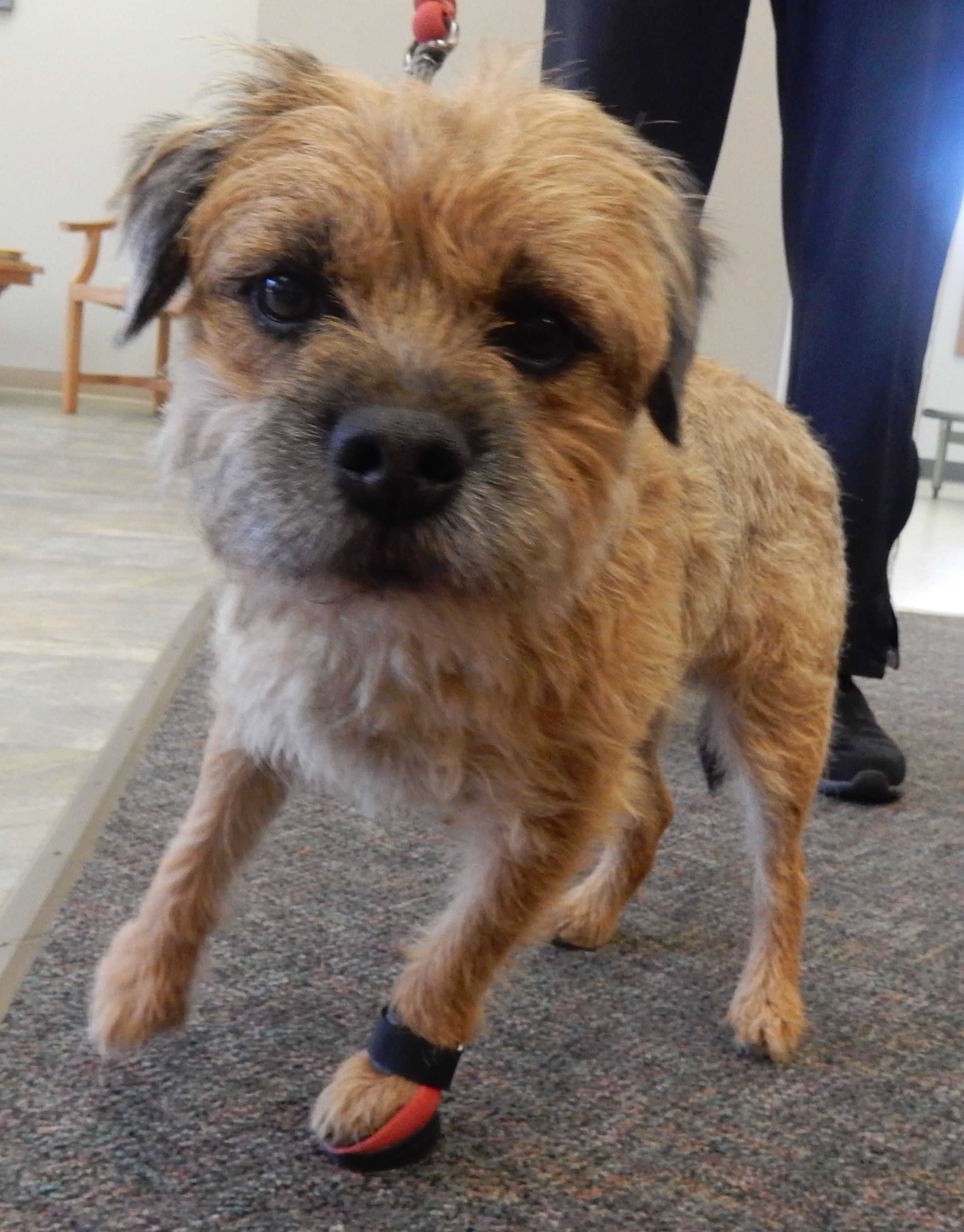 Pippin, the Border Terrier, has a small fracture in his toe and ... | Border Terrier Puppies For Sale Tennessee