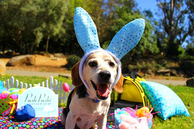Max is excited for Easter! He's exploring his local park in his festive bunny ears. To make his adventure as fun as possible, he's brought along all his favorite Push Pushi gear: his puppy pouch for treats, a paw print throw pillow and blanket for comfort, and his Puppy Shell for save travels. #Easter #PushPushi Shop Max's favorite items and more at www.PushPushi.com