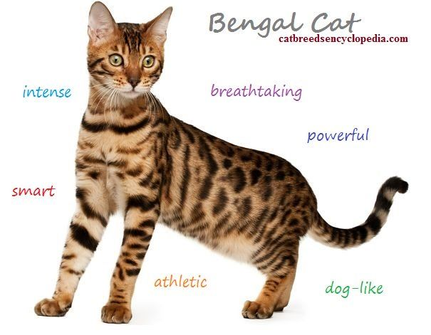 Pin by Photoman3 on Felines | Bengal kitten, Cat facts, Cats
