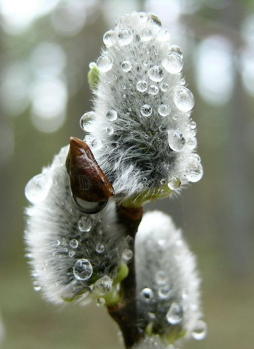 Image result for pussy willows and raindrops Pinterest