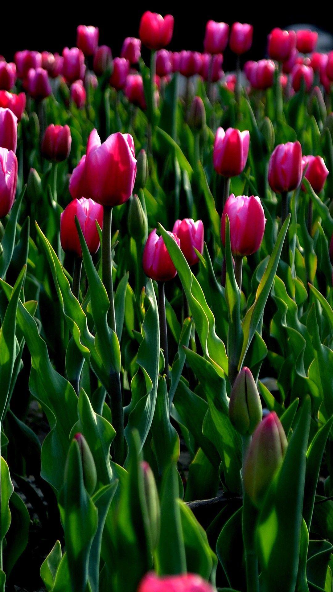 Nature Wild Tulips Garden Field iPhone 8 Wallpapers