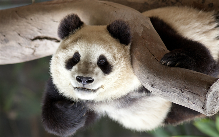 Download wallpapers panda, closeup, cute animals, zoo