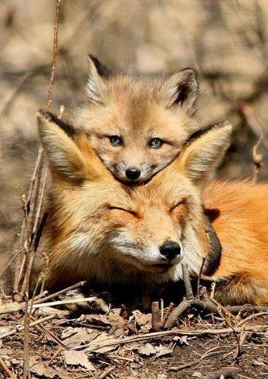 Mother Fox Nap-time, with her Baby Fox Cub