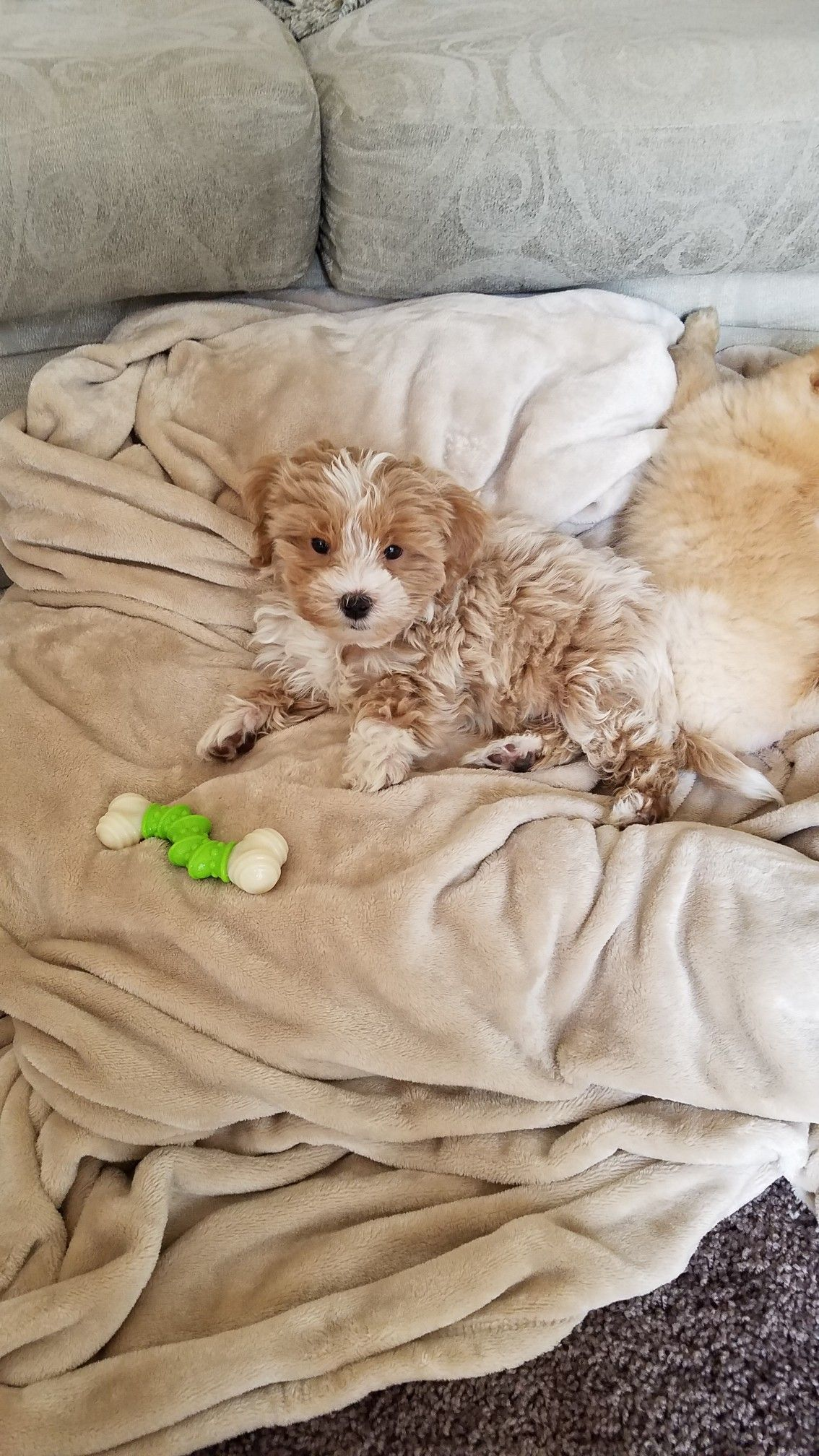 Lhasa Apso Poodle Puppies For Sale Near Me References