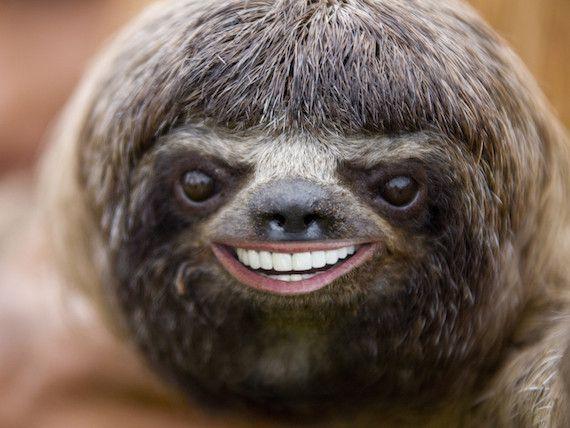 Sloth Smiling Sloth smiling cute sloth smi