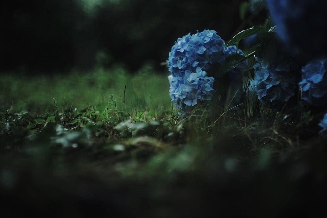 * * 紫陽花 * 雨の中しっとりと横たわる紫陽花 今年の夏は猛暑だって もう少し梅雨を楽しませて * * * #紫陽花#梅雨#雨の日#α7 #jupiter8 #オールドレンズ #オールドレンズ部 #igers #igersjp #ig_japan #ig_photooftheday #instagram #instagramjapan #instadaily #indies_gram #phos_japan #hueart_life #reco_ig #as_archive #screen_archive #ファインダー越しの私の世界 #写真好きな人と繋がりたい #佐世保