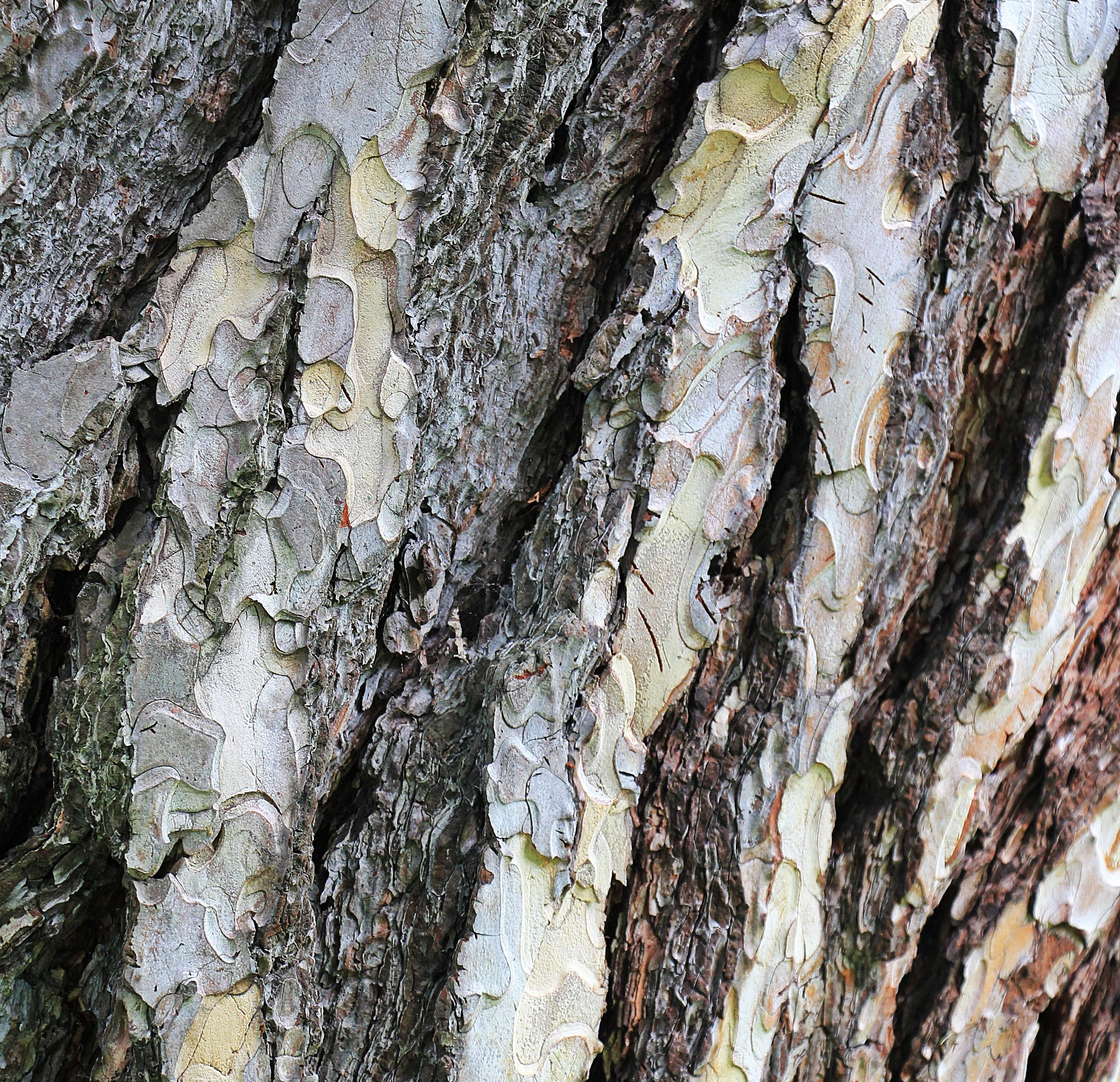 Background Bark Conifer Forest Nature Pattern Pine Plant