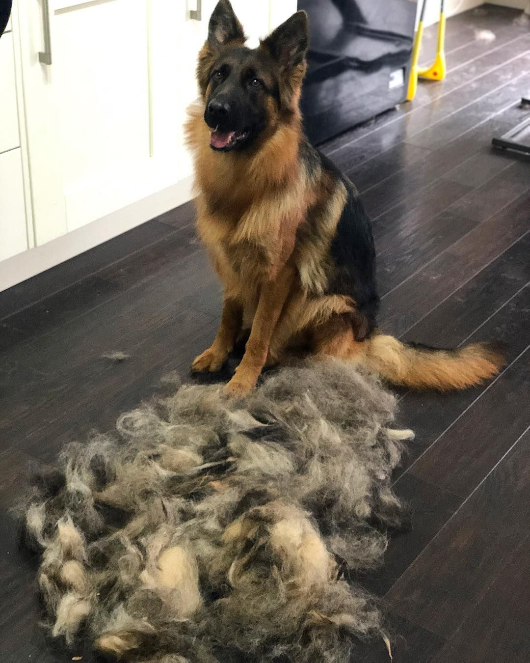 That Moment When You Brush Enough Hair Off Your Gsd To Make An
