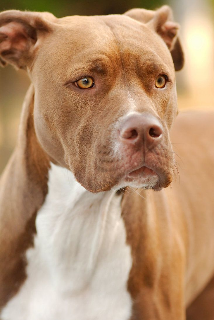 red nose american bulldog american bulldog mom and red nose pit bull dad pit 4447