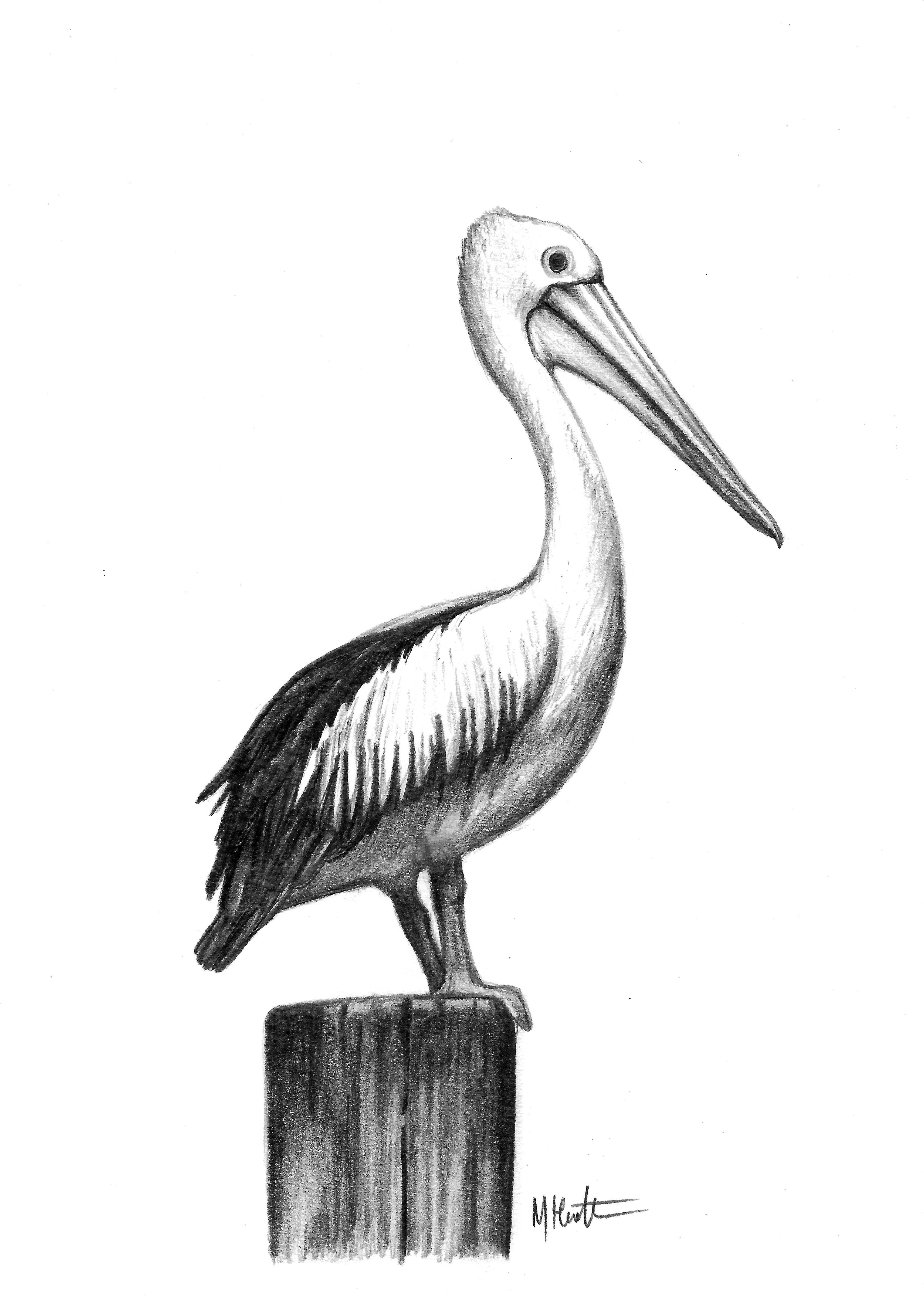 Pelican Drawing For Mum By Me Max Hamilton Pelican Art Pelican Drawing Pelican Tattoo