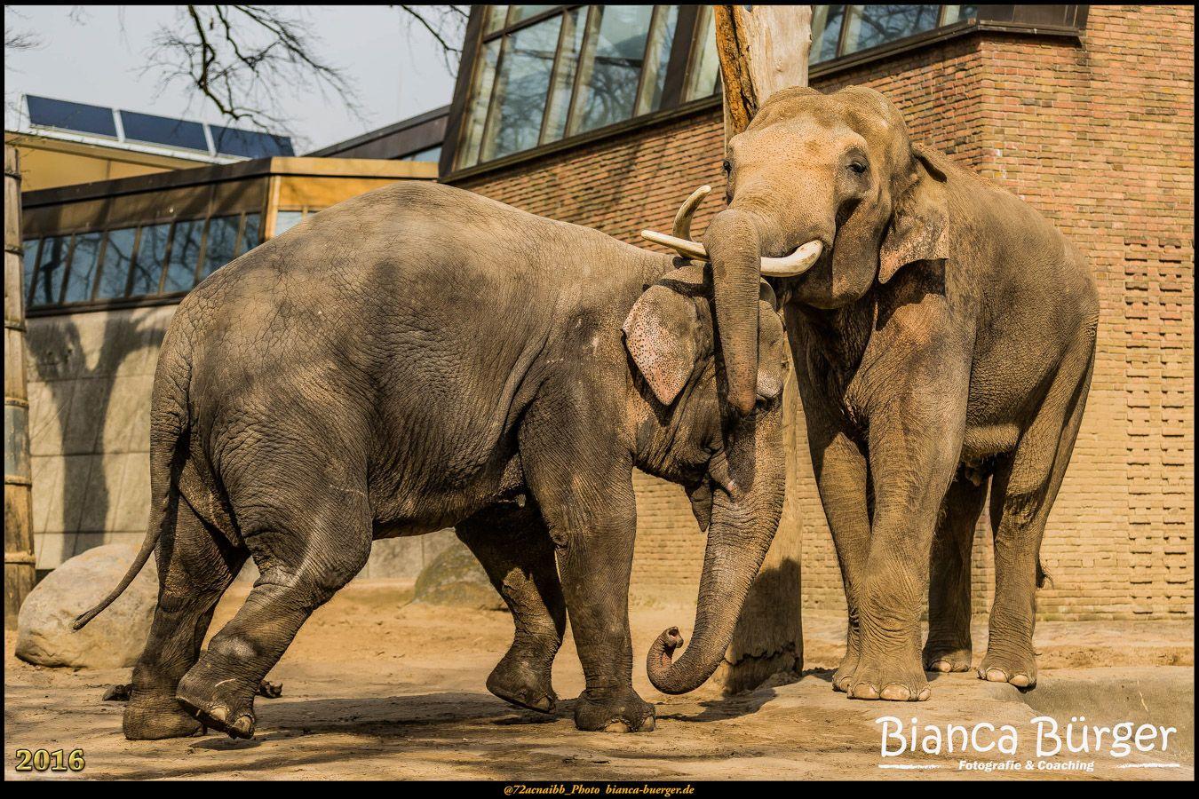 Zoo Berlin 4 - Elefanten #ZooBerlin #Zoo #Berlin #Deutschland #Germany #biancabuergerphotography #igersgermany #igersberlin #IG_Deutschland #IG_Berlin #ig_germany #shootcamp #shootcamp_ig #canon #canondeutschland #EOS5DMarkIII #5Diii #pickmotion #berlinbreeze #diewocheaufinstagram #berlingram #visit_berlin #Tiere #animals #elefant #elephant