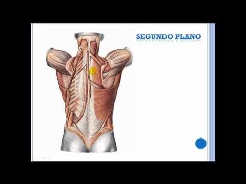 Musculos de la espalda - YouTube   Anatomía   Pinterest   Músculos ...