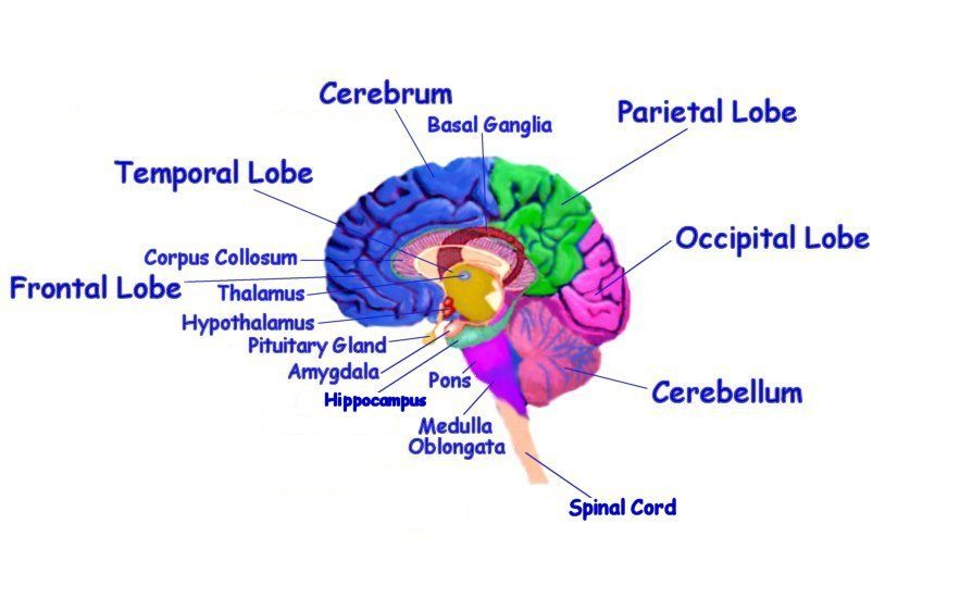 Brain+Structures+and+Functions+Diagram | ... and therefore may be ...