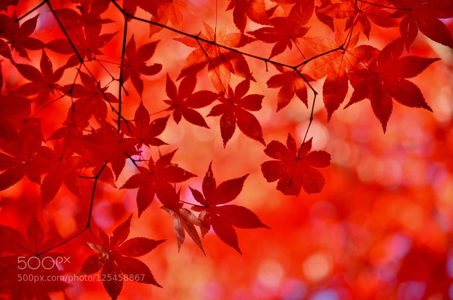 Red maple in the autumn by EkaterinaGeorgieva2 #nature