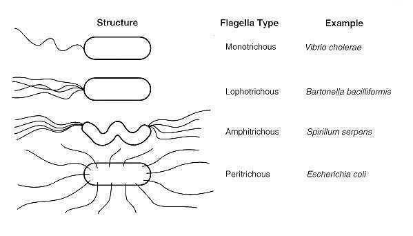 FIGURE 2-4 Typical arrangements of bacterial flagella ...