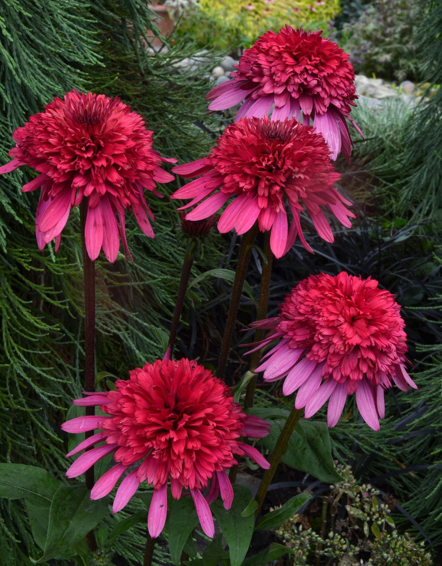 Coneflower \'Supreme Elegance\' (Echinacea) | Gardens ~ Pink & Green ...