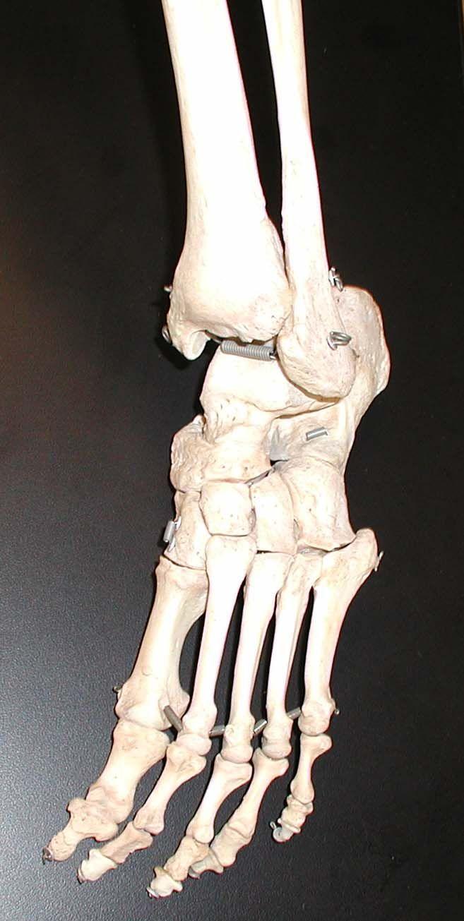 Image result for bones of the foot | Human Bones | Pinterest