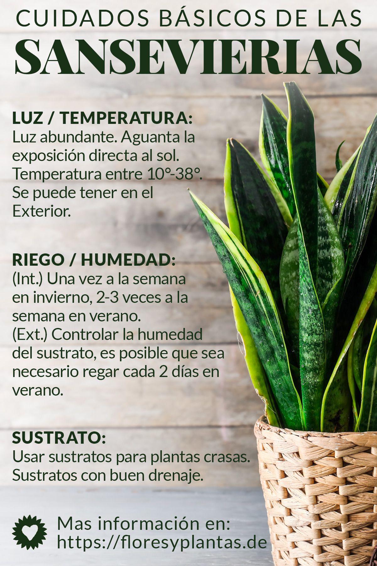 Cuidados Basicos De La Sansevieria Trifasciata Lengua De Suegra Plantas De Patio Jardineria Y Plantas Cultivo De Plantas