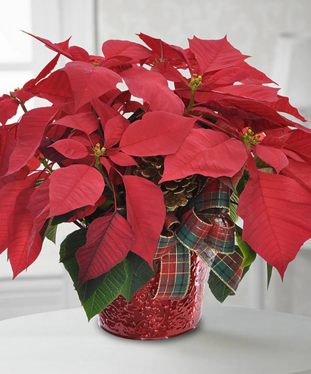 Traditional Poinsettia Plant Poinsettia Plant Christmas Floral Arrangements Holiday Flower