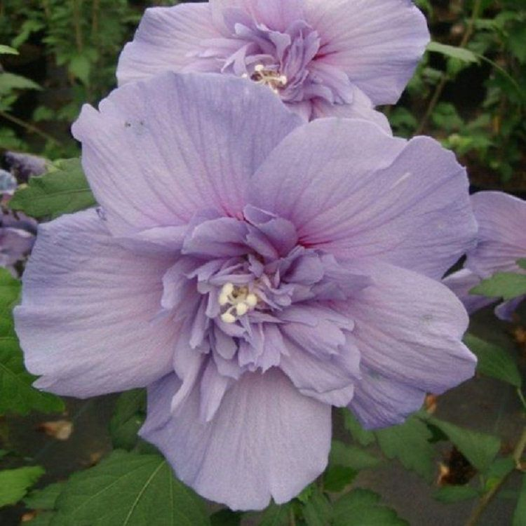 Rare Double Light Purple Hibiscus Seeds Tropical Giant Dinner Plate Fresh Flower Garden Exotic Hardy Flowering & Rare Double Light Purple Hibiscus Seeds Tropical Giant Dinner Plate ...