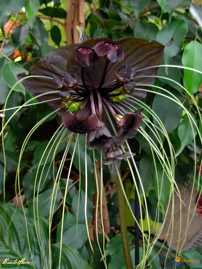 Bat Flower Or Cat S Whiskers Taca Chantrieri ต นไม