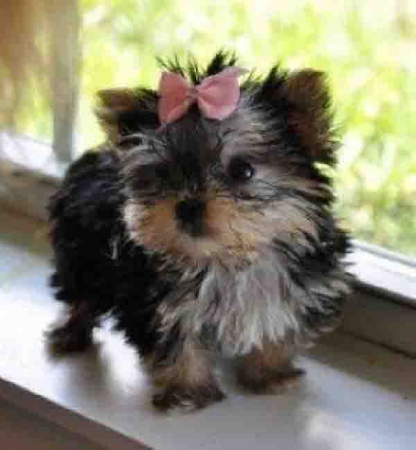 Buy A Yorkie Puppy Girl Put A Pink Bow On It And Name Her Pompom