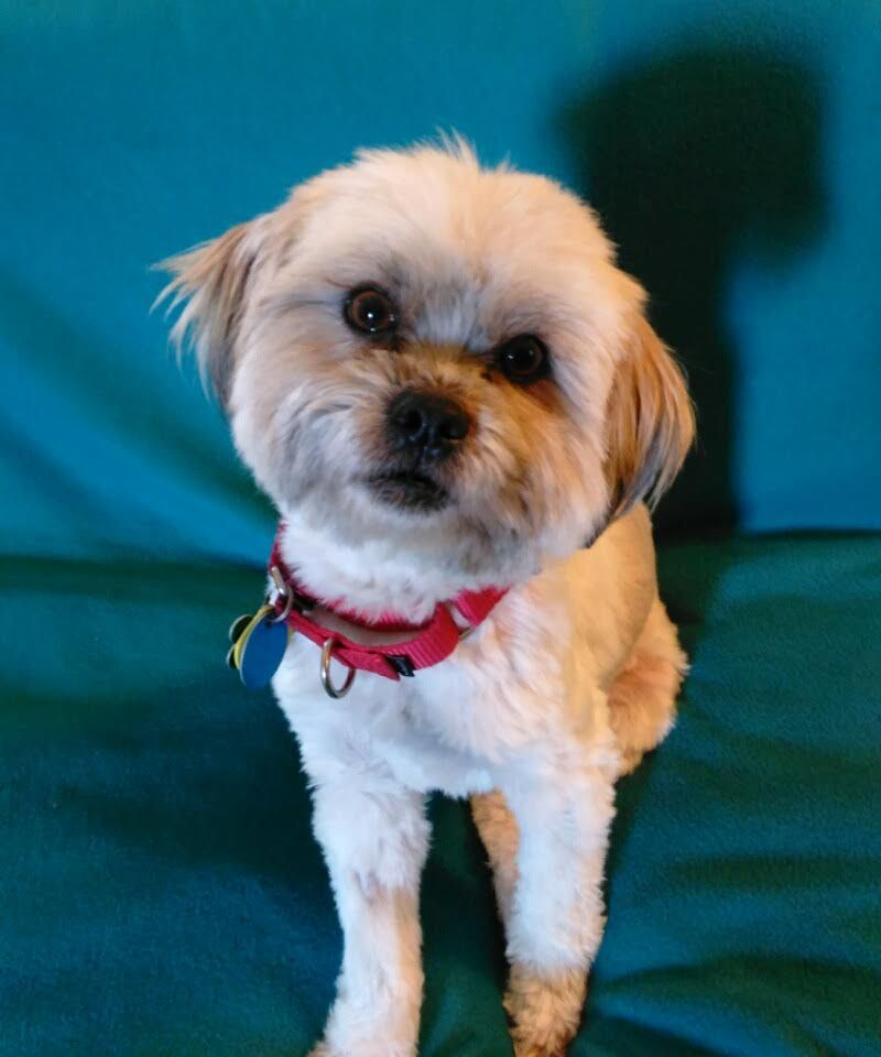 Shih Tzu dog for Adoption in Euless, TX. ADN816864 on