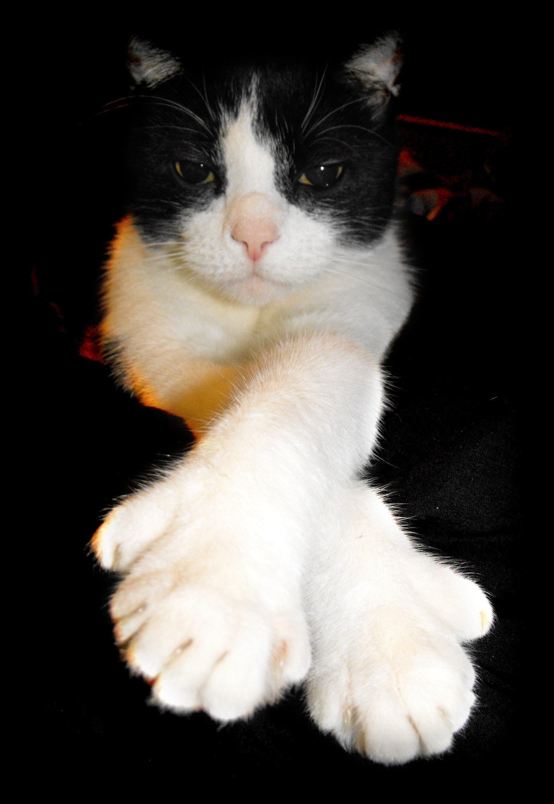 Are Maine Coon Polydactyl Cats Polydactyl cat, Maine