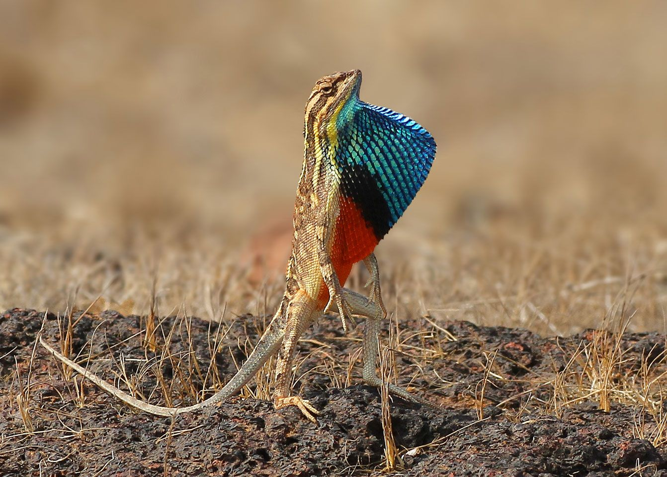 Fan Throated Lizard Of India