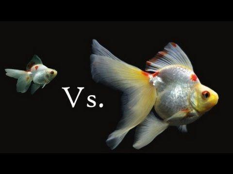 Ryukin Goldfish Growth And Change Ryukin Goldfish Fish