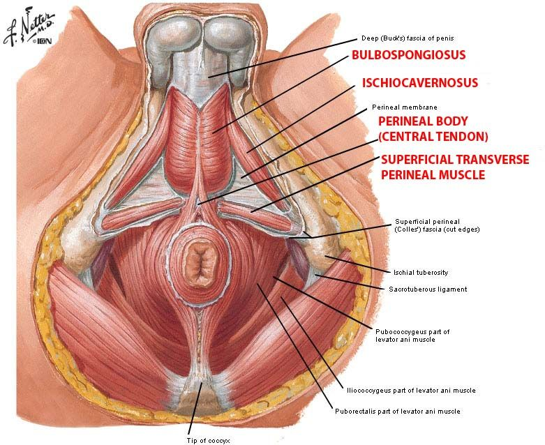 perineum - Google Search | Medicine | Pinterest | Midwifery and ...