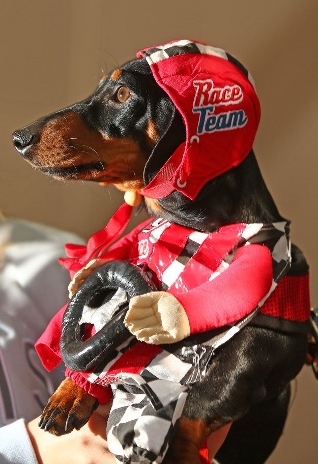 And This Is Cooper Who Came As A Racing Car Driver Dog