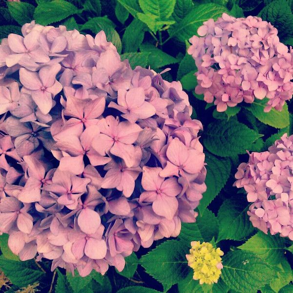 In bloom. Hydrangea - from Jenni @thirteen11