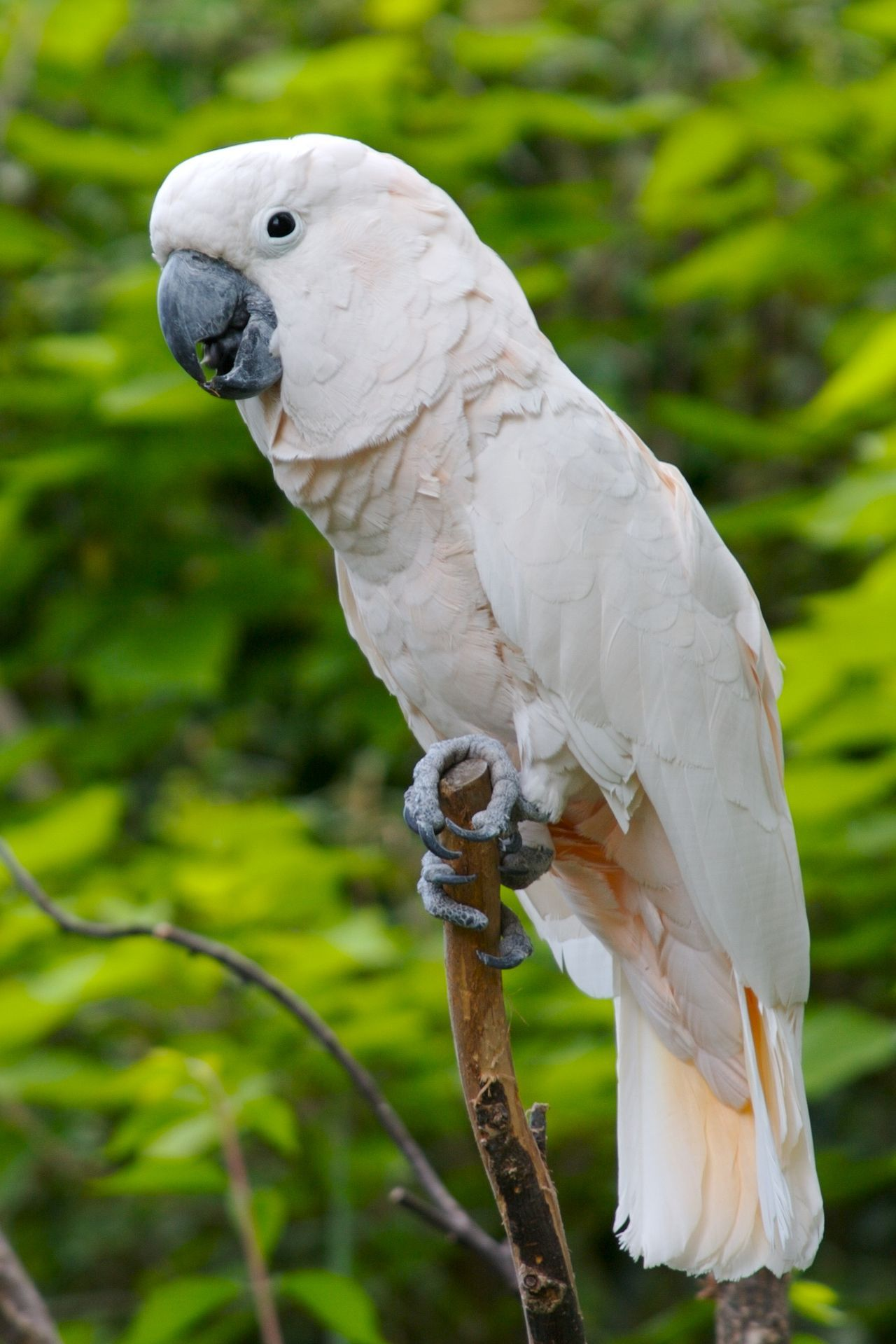 Moluccan Cockatoo, also known as Salmoncrested cockatoo