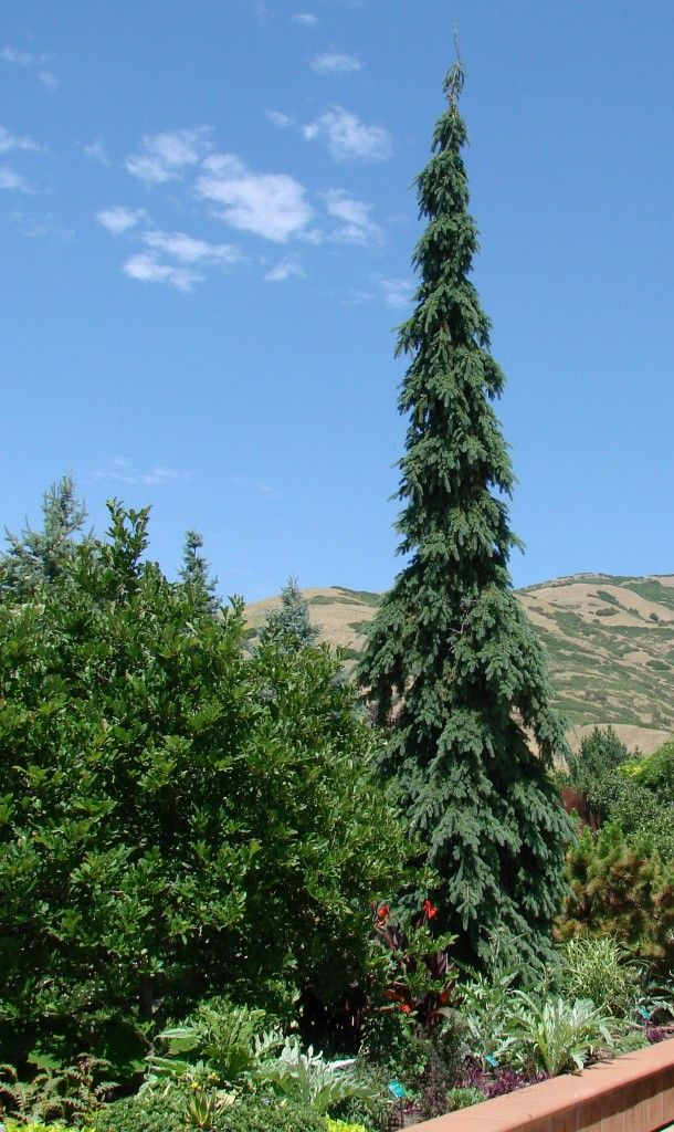 Picea glauca 39 pendula 39 weeping white spruce 20 30 39 tall for Tall evergreen trees for small gardens