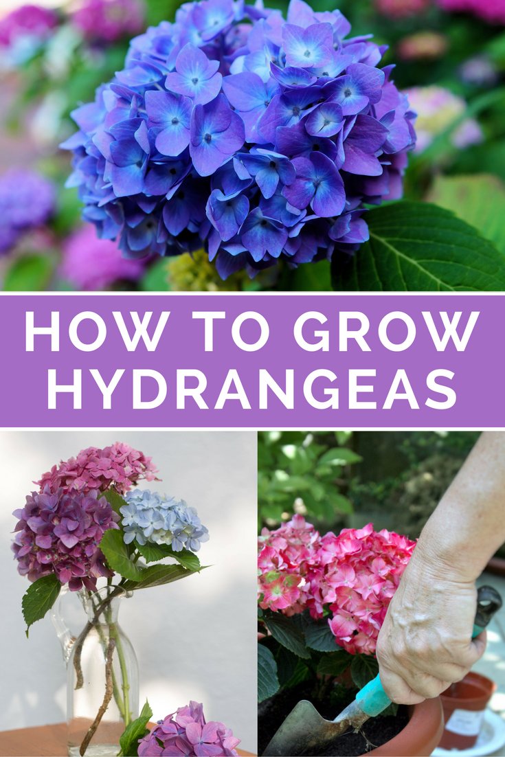 How To Grow Hydrangeas Everything You Need To Know Growing Hydrangeas Planting Hydrangeas Hydrangea Care