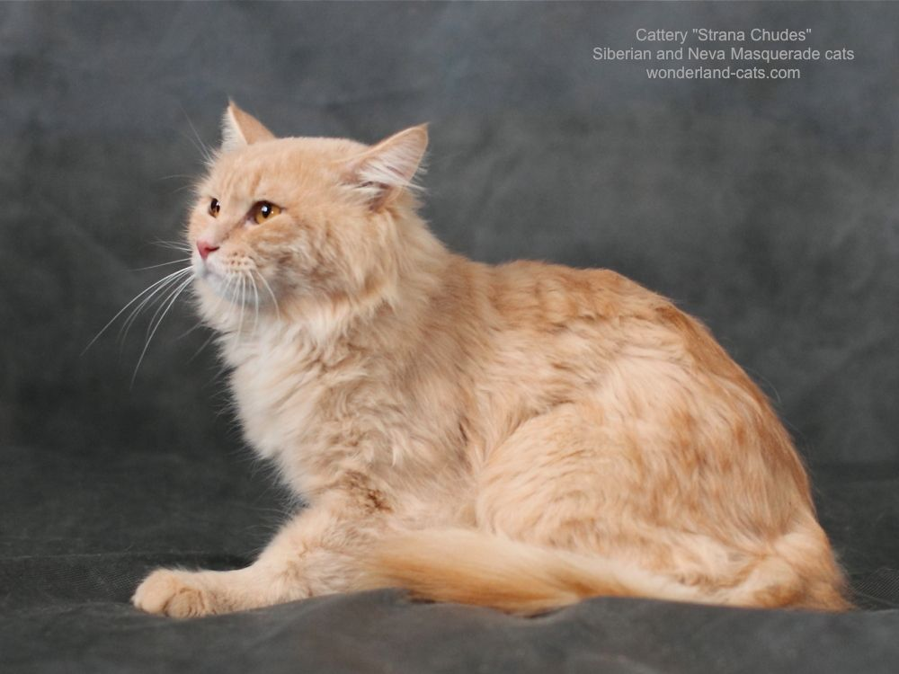 Russian Siberian Beautiful Cat Male Cream Spotted Tabby Yellow
