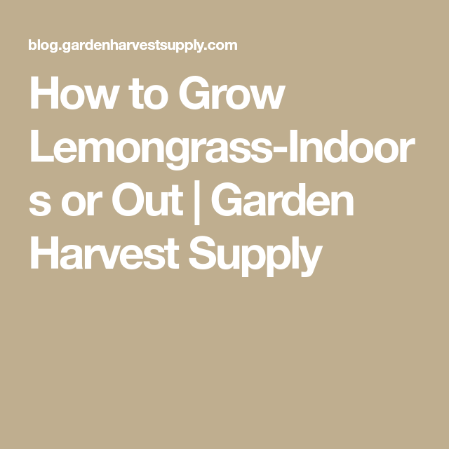 how to grow lemongrass indoors or out garden harvest supply - Garden Harvest Supply